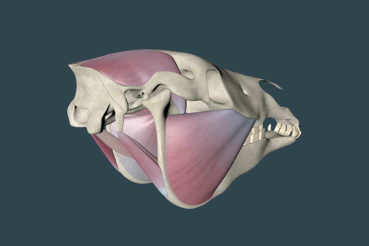Horse mastication muscles 3d animation visualization
