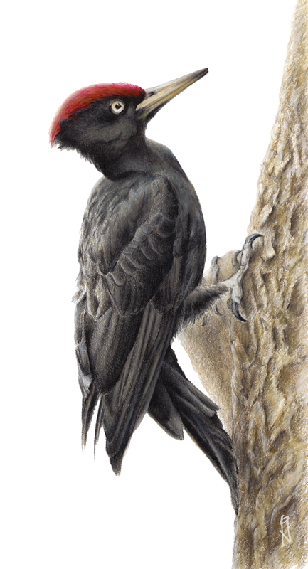 colored pencil woodpecker illustration by pascal glatzfelder