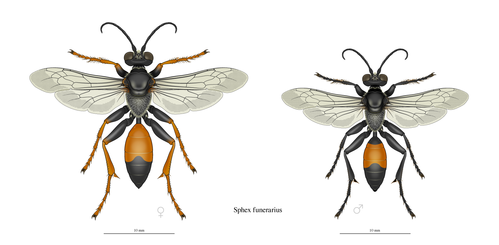 golden digger wasp dorsal view male and female