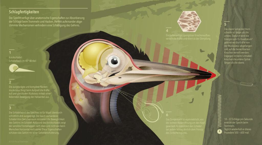 woodpecker infographic showing anatomical skull structures preventing injuries during pecking.